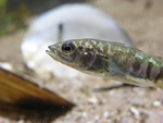 Three-spined stickleback   (Gasterosteus aculeatus)